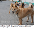 Ugly Jindo dogs sent to dog meat restaurants?